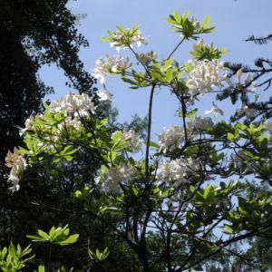 Westliche Azalee Bluete weiß Rhododendron occidentale 01