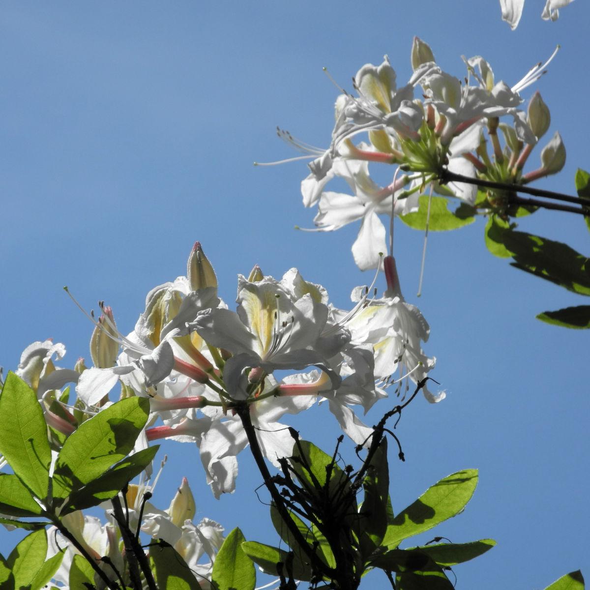 Westliche Azalee Bluete weiß Rhododendron occidentale