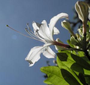 Westliche Azalee Bluete weiß Rhododendron occidentale 06