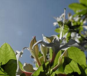 Westliche Azalee Bluete weiß Rhododendron occidentale 07