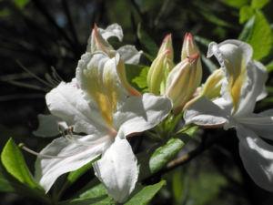 Westliche Azalee Bluete weiß Rhododendron occidentale 12