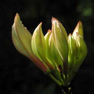 Westliche Azalee Bluetenknospe Rhododendron occidentale 02