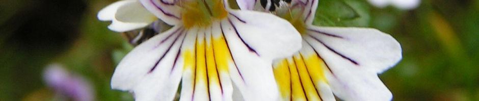 wiesen-augentrost-bluete-weiss-euphrasia-rostkoviana