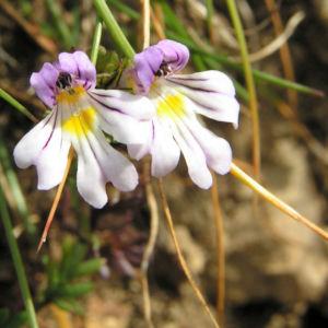 Wiesen Augentrost Bluete weiss Euphrasia rostkoviana 06