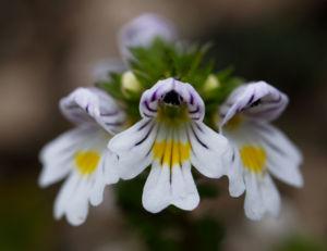 Wiesen Augentrost Blume Bluete weiss Euphrasia rostkovinia 03