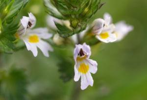 Wiesen Augentrost Blume Bluete weiss Euphrasia rostkovinia 04