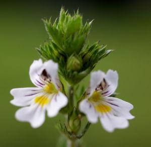 Wiesen Augentrost Blume Bluete weiss Euphrasia rostkovinia 06
