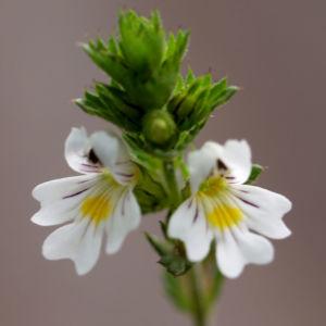 Wiesen Augentrost Blume Bluete weiss Euphrasia rostkovinia 07