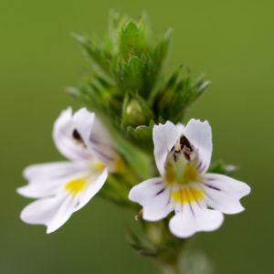 Wiesen Augentrost Blume Bluete weiss Euphrasia rostkovinia 08