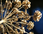 Wiesen Baerenklau Herbstdolde braun Heracleum sphindylium 06