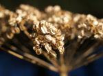 Wiesen Baerenklau Herbstdolde braun Heracleum sphindylium 07