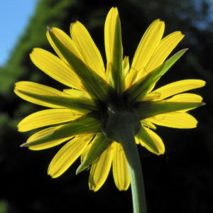 Wiesen Bocksbart Bluete gelb Tragopogon pratensis 07