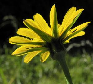 Wiesen Bocksbart Bluete gelb Tragopogon pratensis 08