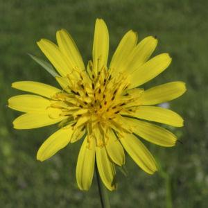 Bild: Wiesen Bocksbart Bluete gelb Tragopogon pratensis