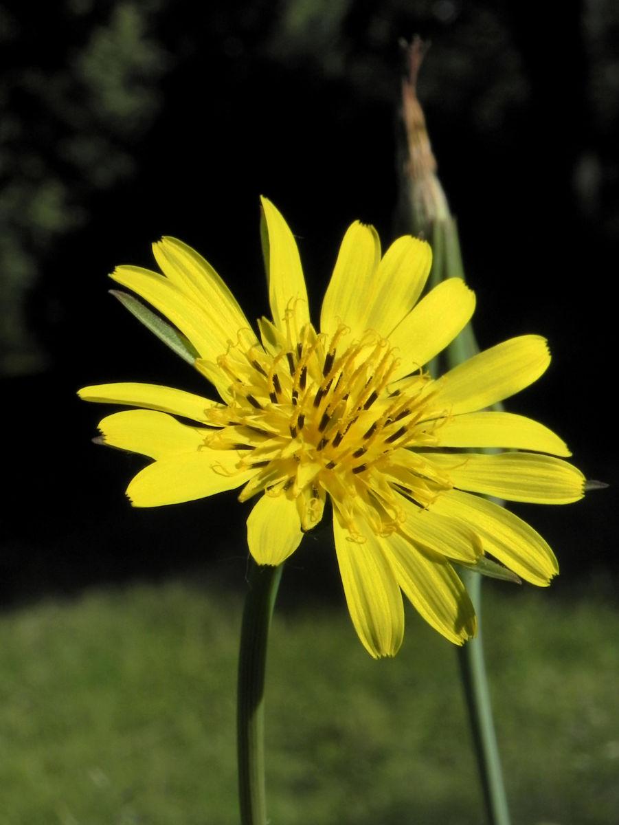 Wiesen Bocksbart Bluete gelb Tragopogon pratensis