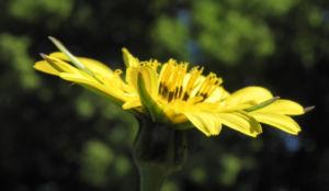 Wiesen Bocksbart Bluete gelb Tragopogon pratensis 17