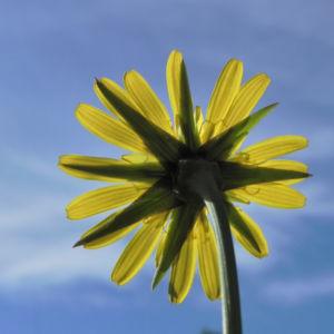 Wiesen Bocksbart Bluete gelb Tragopogon pratensis 20
