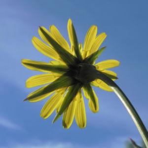 Wiesen Bocksbart Bluete gelb Tragopogon pratensis 21