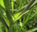 Zurück zum kompletten Bilderset Wiesen-Bocksbart Blüte gelb Knospe grün Tragopogon pratensis