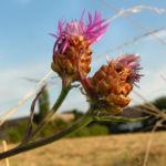 Wiesen Flockenblume Bluete pink Centaurea jacea 01