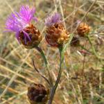 Wiesen Flockenblume Bluete pink Centaurea jacea 02