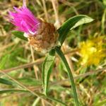 Wiesen Flockenblume Bluete pink Centaurea jacea 03
