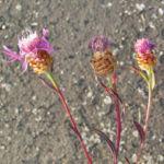 Wiesen Flockenblume Bluete pink Centaurea jacea 05