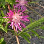 Wiesen Flockenblume Bluete pink Centaurea jacea 06