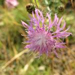 Bild: Wiesen-Flockenblume Blüte pink Centaurea jacea