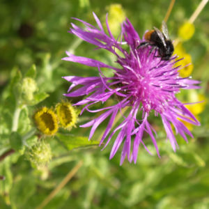 Wiesen Flockenblume Bluete purpurrot Centaurea jacea 01