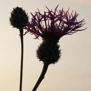 Wiesen Flockenblume Bluete purpurrot Centaurea jacea 02
