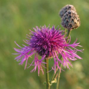 Wiesen Flockenblume Bluete purpurrot Centaurea jacea 03
