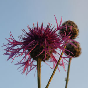 Wiesen Flockenblume Bluete purpurrot Centaurea jacea 04