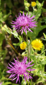 Wiesen Flockenblume Bluete purpurrot Centaurea jacea 05