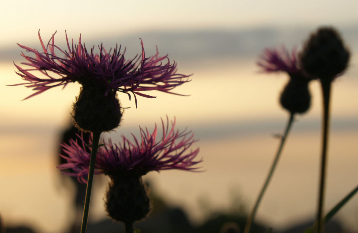 Wiesen Flockenblume Bluete purpurrot Centaurea jacea