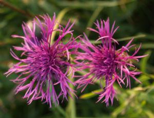 Wiesen Flockenblume Bluete purpurrot Centaurea jacea 08