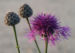 Zurück zum kompletten Bilderset Wiesen-Flockenblume Blüte purpurrot Centaurea jacea