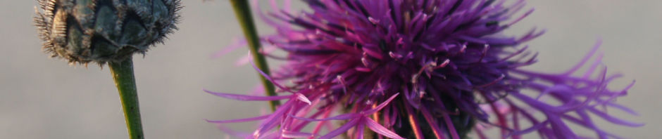 wiesen-flockenblume-bluete-purpurrot-centaurea-jacea
