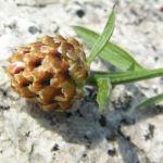 Wiesen Flockenblume Knospe braun glaenzend Centaurea jacea 02