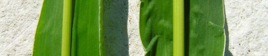 wiesen-fuchsschwanz-aehre-alopecurus-pratensis
