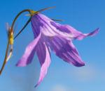 Wiesen Glockenblume Bluete blau Campanula patula 01