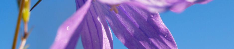 wiesen-glockenblume-bluete-blau-campanula-patula