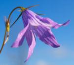 Wiesen Glockenblume Bluete blau Campanula patula 01 1