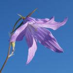 Wiesen Glockenblume Bluete blau Campanula patula 02