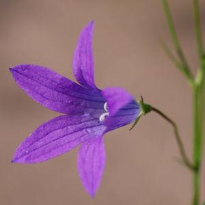Wiesen Glockenblume Bluete lila Campanula patula 02