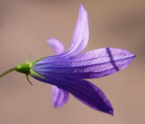 Wiesen Glockenblume Bluete lila Campanula patula 09