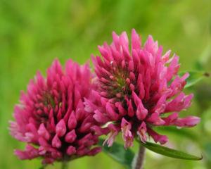 Wiesen Klee Bluete rot Trifolium pratense 03