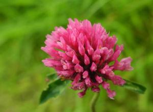 Wiesen Klee Bluete rot Trifolium pratense 04