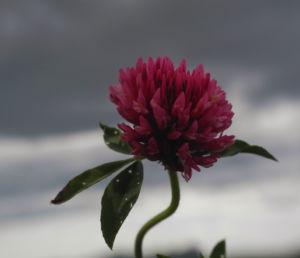 Wiesen Klee Bluete rot Trifolium pratense 06