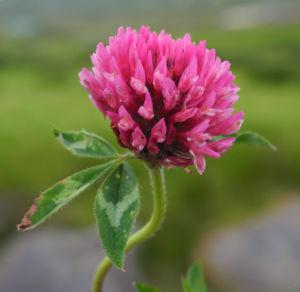 Wiesen Klee Bluete rot Trifolium pratense 07